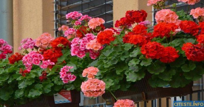Elixir pentru mușcate – Folosiți această rețetă simplă și mușcatele vor fi pline de flori