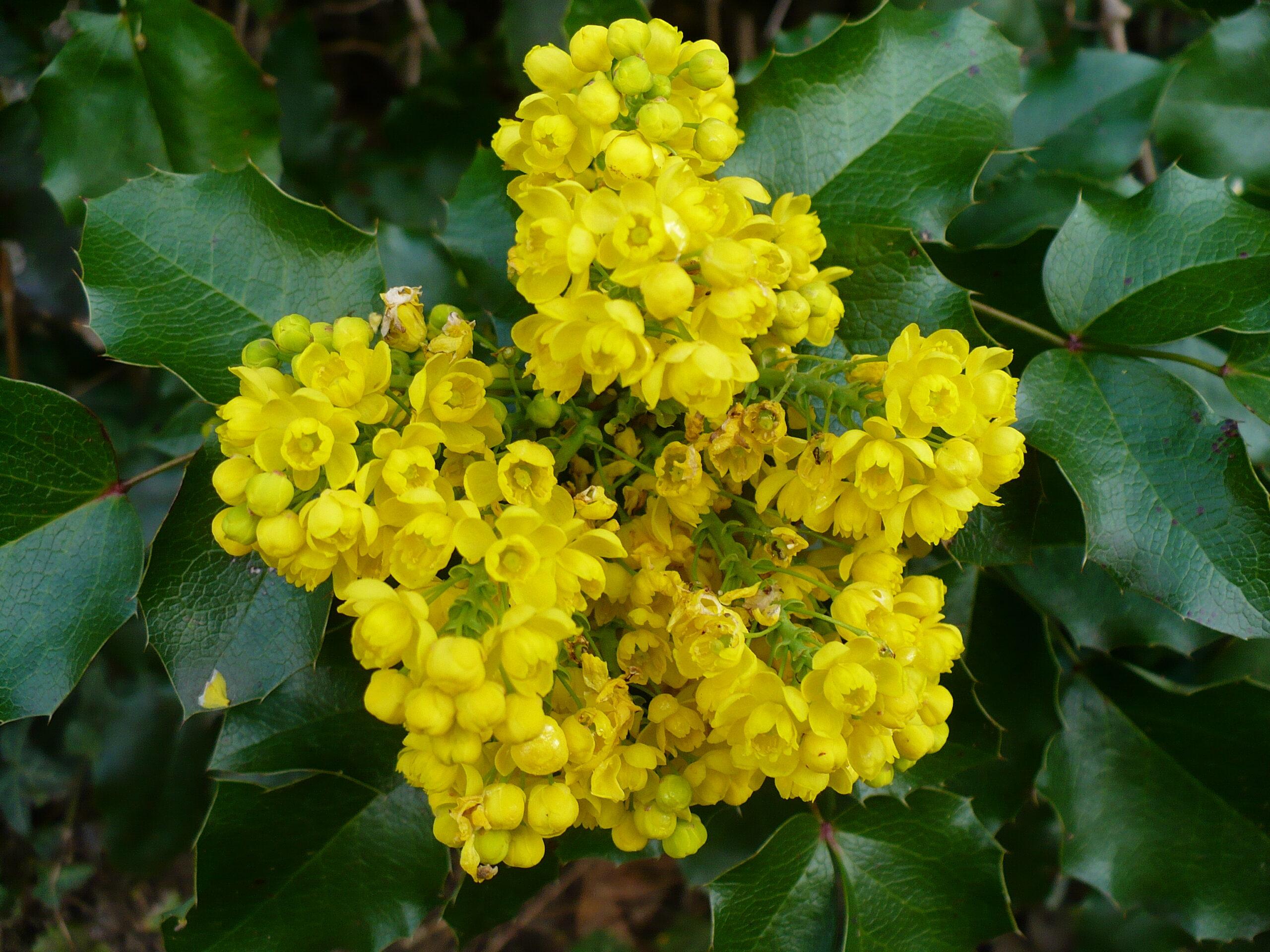Mahonia aquifolium, o plantă rezistentă la poluarea din orașe