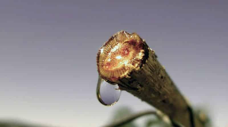 Lacrimile viţei de vie – remediu pentru pietre la rinichi, fiere leneşa şi afecţiuni oculare