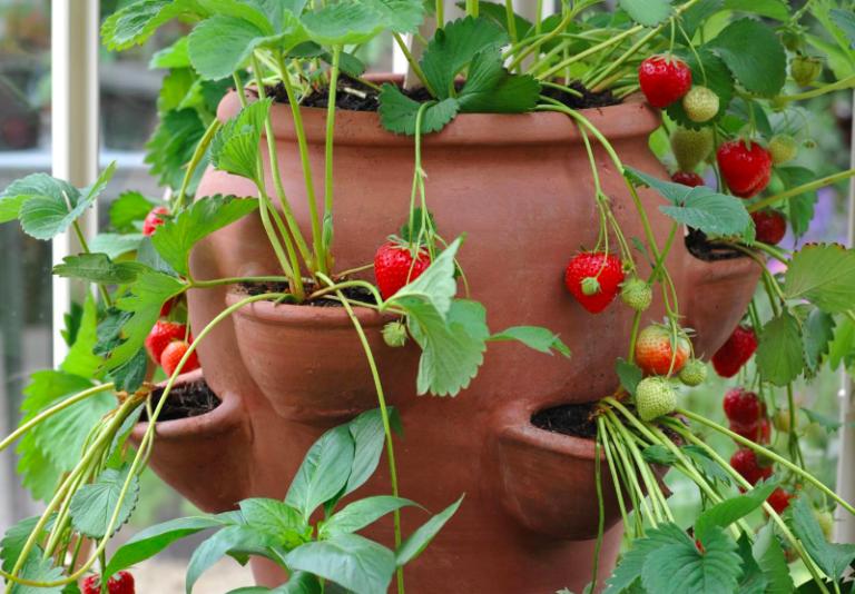 Căpșunile în ghiveci, delicii pe balcon