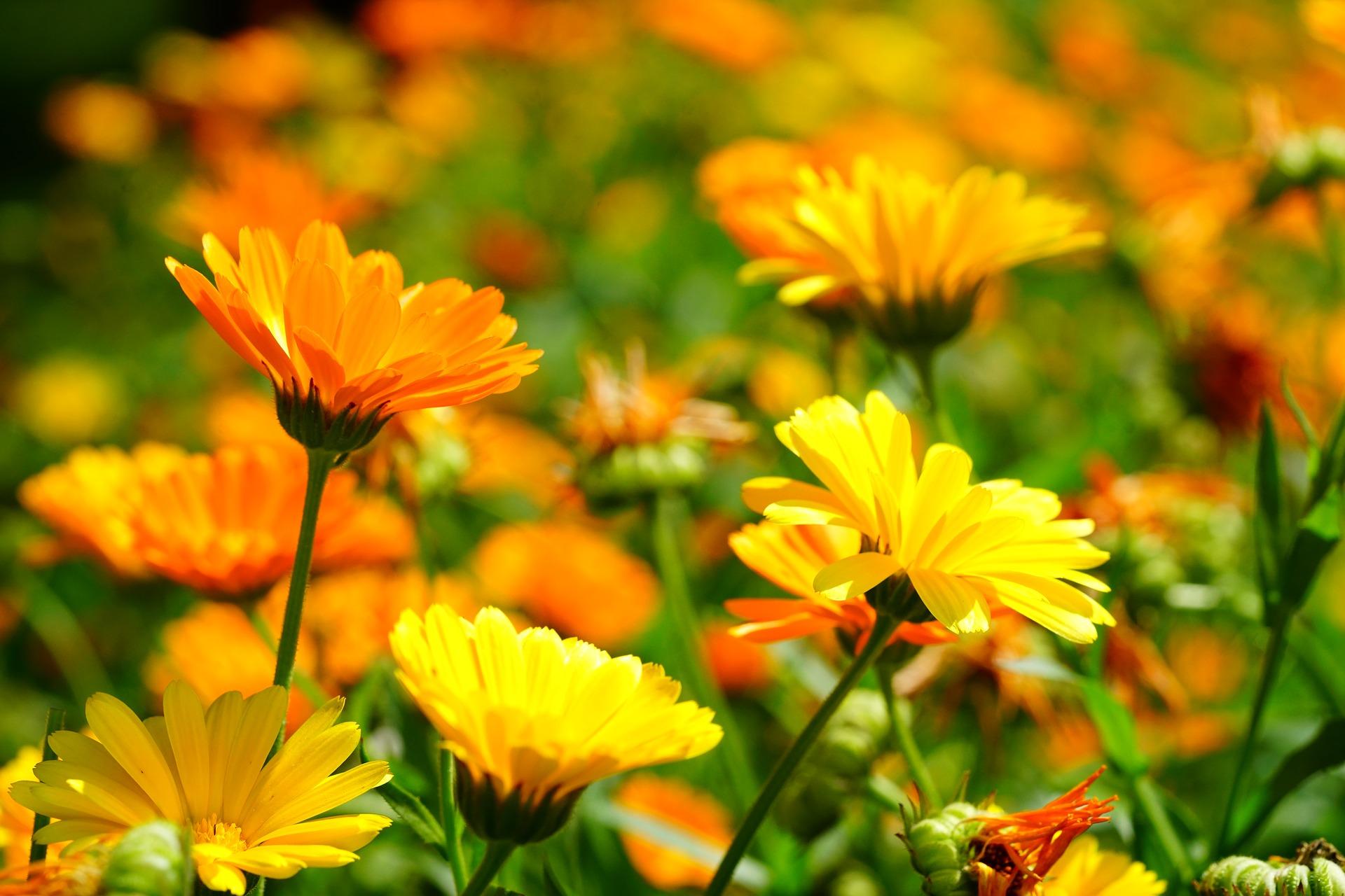 Gălbenele – flori de grădină care vindecă ZECI de BOLI. Leacul minune cu multiple proprietăți