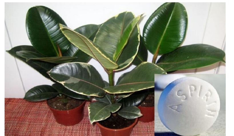 Ficusul și aspirina ajută la durerile lombare şi de spate